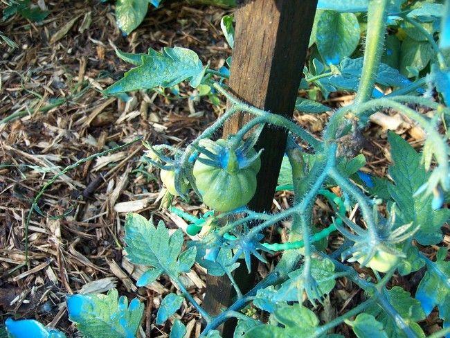 pied de tomate avec de la bouillie bordelaise de couleur bleue