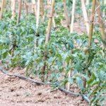 La bouillie bordelaise pour lutter contre les maladies de la tomate