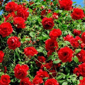 L'utilisation sur les rosiers pour de belles roses