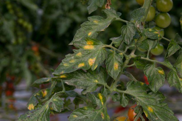 image montrant le mildiou de la tomate