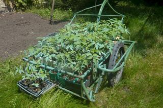 plant de tomates traitée à la bouillie