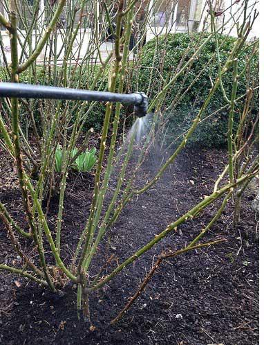 traitement par pluverisation de bouillie sur les rosiers